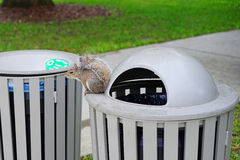 Squirrel on garbage can Stock Photo