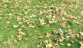 Squirrel in Garden with Fallen Leaves. This photo is shot in England Royalty Free Stock Photo