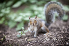 A Squirrel in the Garden. On a sunny Spring day Stock Photography