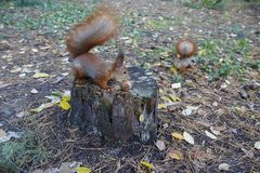 Squirrel gather in the park left for them nuts Stock Photography
