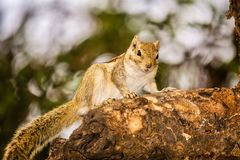 A squirrel gazing at the camera Stock Image