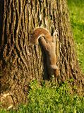 Squirrel get off for search something to eat.