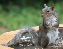 Squirrel - Get off the table? Royalty Free Stock Photos