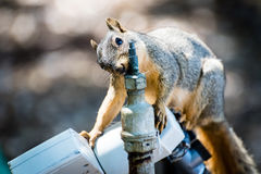 A squirrel getting a drink of water. Stock Images