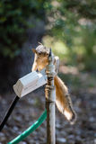 A squirrel getting a drink of water. Royalty Free Stock Photos