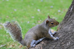 Squirrel getting ready Royalty Free Stock Photography