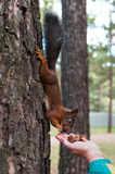 Squirrel and girl palm. The squirrel on a tree trunk eats from a girl palm Stock Images