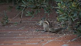 Squirrel given a best Eating pose. Squirrel was eating Something royalty free stock photos