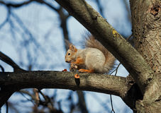 Squirrel glutton. Squirrel sitting on a branch and eating a nut shell spits royalty free stock images