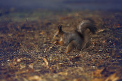 Squirrel gnawing. Squirrel gnawing a nut in autumn park Stock Photography