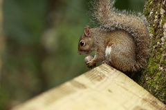 Squirrel Gnawing On Nut. Image of squirrel sitting on a fence gnawing on a nut Royalty Free Stock Image