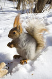 Squirrel gnawing nuts. Squirrel  on the snow gnawing nuts of siberian pine Stock Images