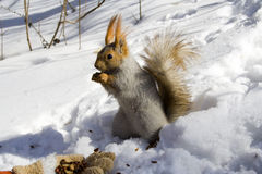 Squirrel gnawing nuts. Squirrel  on the snow gnawing nuts of siberian pine Stock Photos