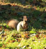 Squirrel gnawing nuts on the grass. Squirrel gnawing nuts on grass in autumn park Royalty Free Stock Photography