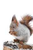 Squirrel gnawing seeds Stock Image