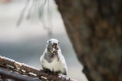 Squirrel is gnawing something, long and sharp Fangs in the mouth. Animals Found in Tropical Regions stock photos