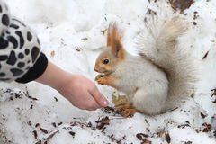 The squirrel gnawing sunflower seeds Stock Photos