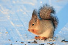 Squirrel gnawing sunflower seeds on white snow. In a park in winter Royalty Free Stock Photo