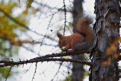 Squirrel gnaws candy on tree. Squirrel gnaws chocolate candy on tree stock photography
