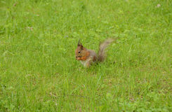 Squirrel gnaws a nut in the grass Stock Photography