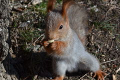 Squirrel. Gnaws nut holding legs stock image