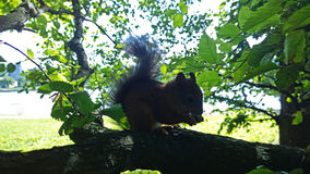 Squirrel gnaws nut on a tree Stock Photos