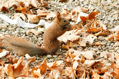 Squirrel gnaws nuts. Red squirrel gnaws a nut, under a tree in the foliage Stock Photos