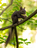 Squirrel gnaws nuts in the tree Stock Photography