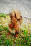 Squirrel gnaws nuts in the woods. Royalty Free Stock Image