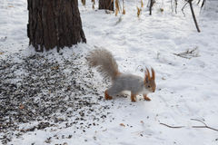 Squirrel goes though the snow royalty free stock photography