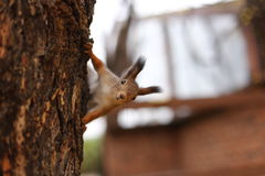 Squirrel. In Gorky Central Park of Culture and Leisure Moscow Stock Image