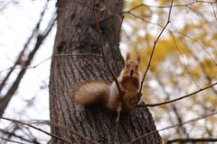 Squirrel. In Gorky Central Park of Culture and Leisure Moscow Stock Photos