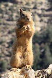 Squirrel in Grand Canyon Stock Images