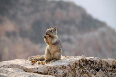 Squirrel in Grand Canyon Stock Photos