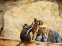 Squirrel. A squirrel at the Grand Canyon Stock Photo