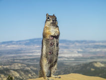 Squirrel with Grand Canyon in the background. A squirrel with the Grand Canyon in the background Royalty Free Stock Images