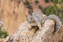 Squirrel in the grand canyon Stock Photo