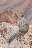 Squirrel in the grand canyon Royalty Free Stock Photos