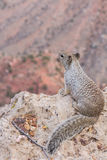 Squirrel in the grand canyon Royalty Free Stock Images