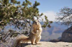 Squirrel in Grand Canyon National Park Stock Image