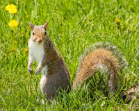 Squirrel in Grass Royalty Free Stock Images