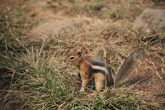 A Squirrel is on the grass stock image