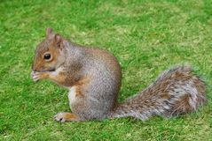 Squirrel in grass Royalty Free Stock Image