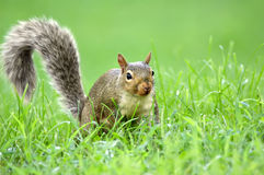 Squirrel in the Grass royalty free stock photos