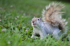 Squirrel  on grass Royalty Free Stock Images