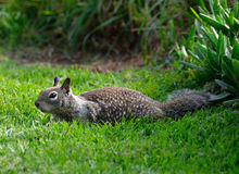 Squirrel in grass Royalty Free Stock Photos