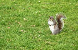 Squirrel In a Grass Royalty Free Stock Photo