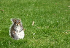 Squirrel In a Grass Stock Images