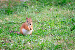 Squirrel on the grass Royalty Free Stock Image