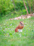 Squirrel on the grass Stock Images